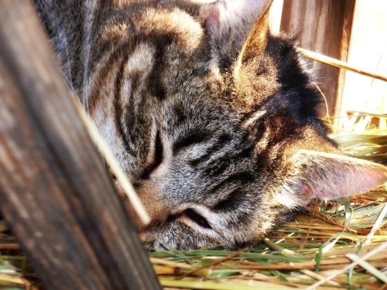 Sleeping peacefully....(Carl Sandburgs Goat Barn)